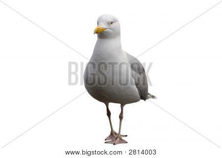 Truculent Gull