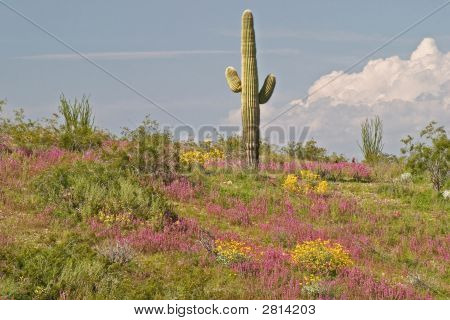 Saguaro With Wild Flowers