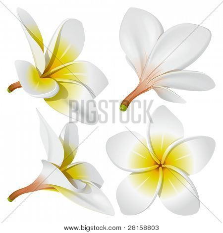 Frangipani (Plumeria). Hawaii, Bali (Indonesia), Shri-Lanka tropical necklace flowers. Vector Illustration