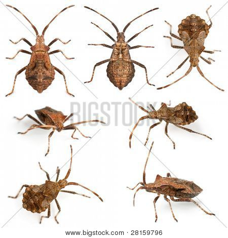 Dock bugs, Coreus marginatus, species of squash bug, in front of white background