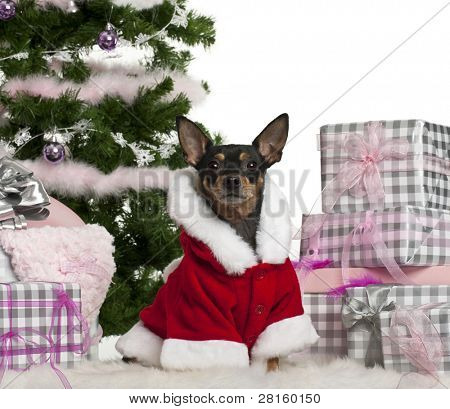Miniature Pinscher, 3 years old, wearing Santa outfit with Christmas gifts in front of white background