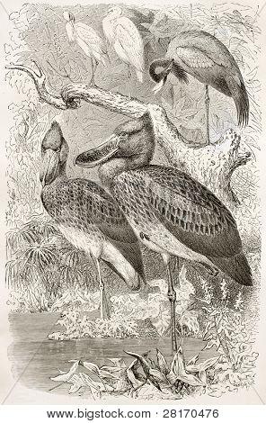 Schuhschnabel alte Abbildung (Balaeniceps Rex). erstellt von Kretschmer und Illner, veröffentlicht auf merveill