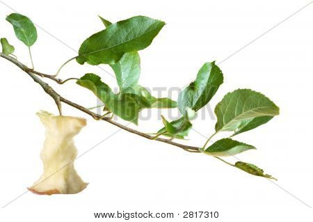 Apple Core On A Branch