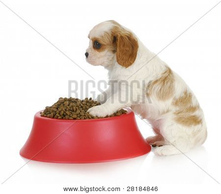 hungry puppy - cavalier king charles spaniel sitting with full bowl of dog food