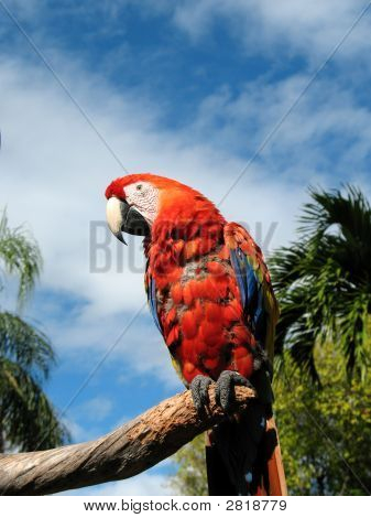 Amazon Parrot