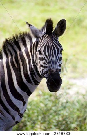 Looking Zebra.