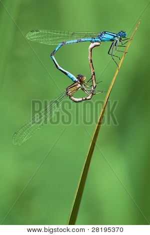 A pair of damsel flies on a stalk