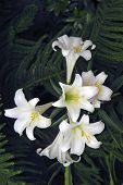 stock photo of easter lily  - A picture of a Easter lily taken in the spring - JPG