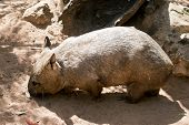 This Is A Side View Of A Hairy Nosed Wombat Looking For Food poster