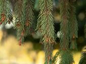 Close Up View On Pine Needles With Bokeh Effect. White And Golden Bokeh. Green Pine Needles With Sma poster