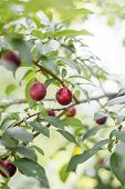 Red Ripe Plums On The Tree, Ripe Berry On The Branch Of A Plum Tree In The Garden poster