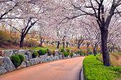 Blooming sakura cherry blossom alley in park in spring, Seokchon lake park, Seoul, South Korea poster