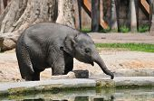 stock photo of drinking water  - Baby elephant drinking water taken in the zoo - JPG
