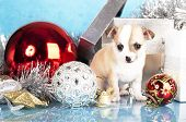 purebred puppy chihuahua and New Year's ball poster