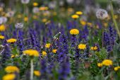Yellow Dandelions And Purple Flowers Field For Decoration Design. Colorful Spring Landscape. Green G poster