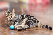 British Short Hair Breed Cat With Bright Yellow Eyes Lays On The Wooden Floor With A Little Blue Bal poster