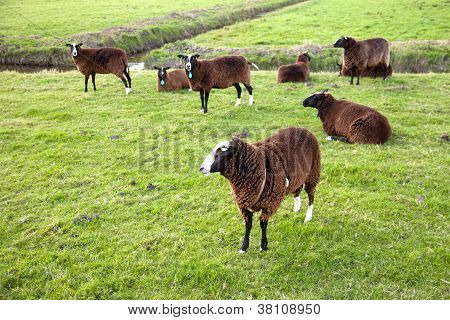 brown sheep inmeadow