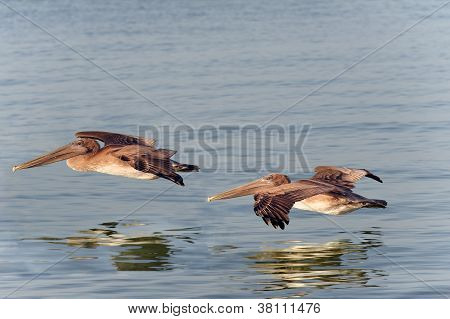 Brown Pelicans Flying Close To Water