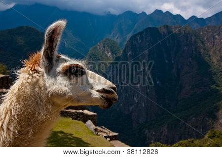 Machu Picchu - Llama With Mountains In The Background