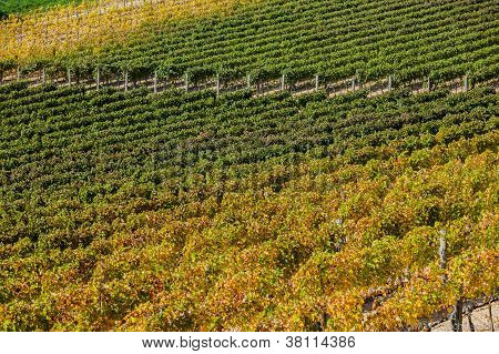 Vineyard near Montepulciano, Italy