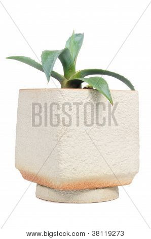 Agave Plant In Flower Pot Isolated On White Background