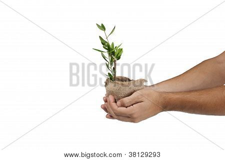 Hands Holding Olive Plant