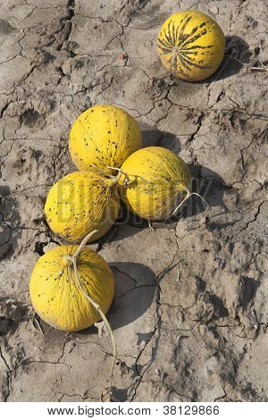 Yellow Melons On The Ground
