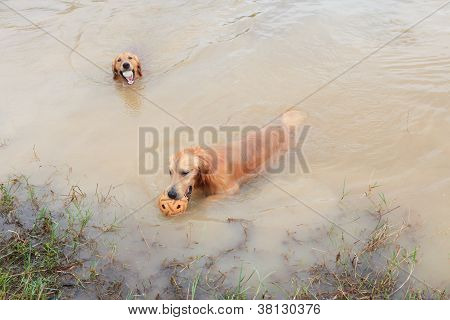 golden retriver dog playing in nature pond