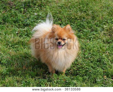 A Little Spitz Dog