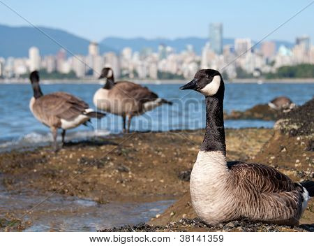 Canada Geese In Front Of Vancouver Skyline