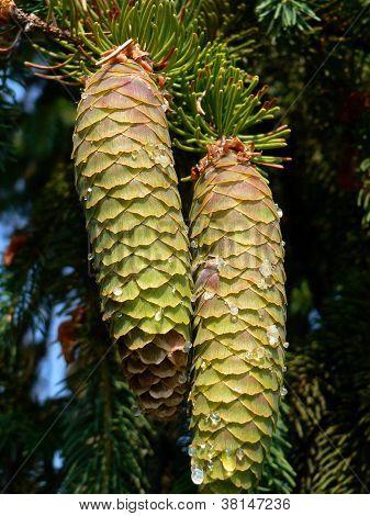Spruce Pine Cones