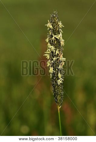 Inflorescence of grass with pollen