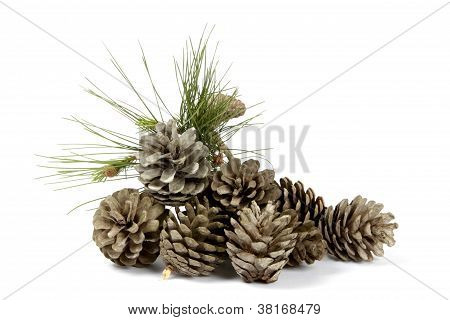 Pine Cones And Plant