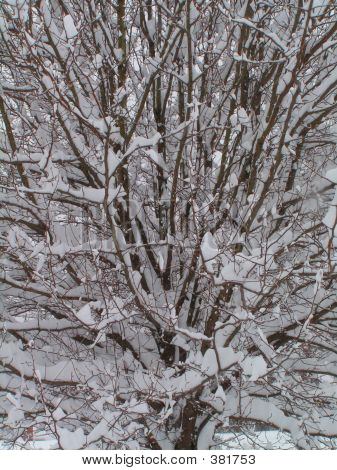 Dense Branches In Snow