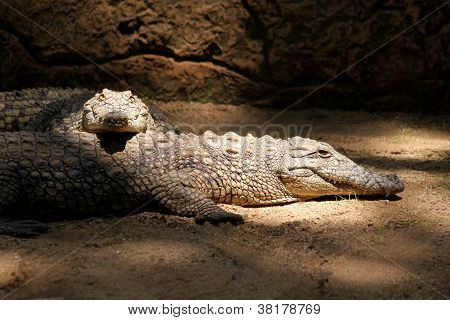 Two Nile Crocodiles Resting In Lair