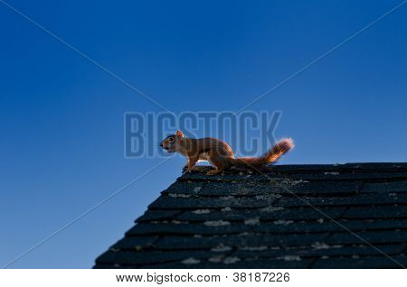 Squirrel On A House Roof On A Cloudless Day