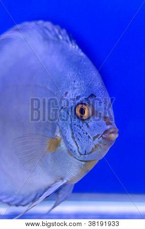 Blue Symphysodon Discus Look At Me