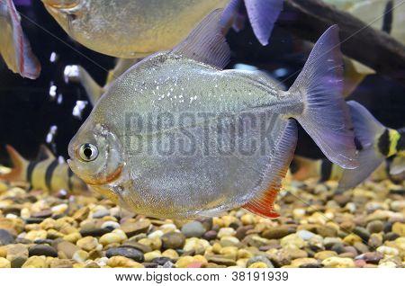 Myleus Schomburgkii Fish In The Aquarium