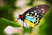 stock photo of water bird  - A beautiful male Cairns Birdwing Butterfly  - JPG
