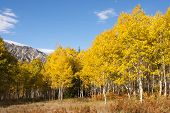 picture of cottonwood  - Aspen grove in fall - JPG