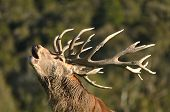 picture of tyne  - Portrait of red deer stag roaring West Coast South Island New Zealand - JPG