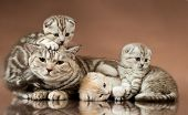 picture of scottish-fold  - family group of three beautiful kitten with mother breed scottish - JPG