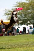 picture of frisbee  - Dog Jumps And Opens Mouth Wide To Catch Frisbee - JPG