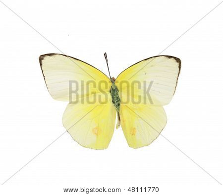 Pieridae: yellow And White Butterfly