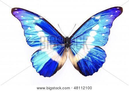 Morphidae: morpho Helena Staudinger (butterfly