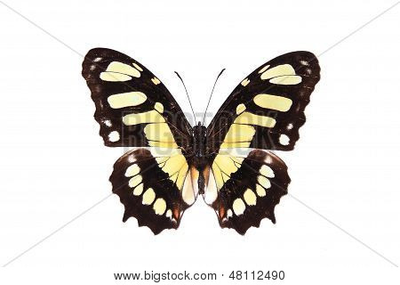 Nymphalidae: brown And Yellow Butterfly