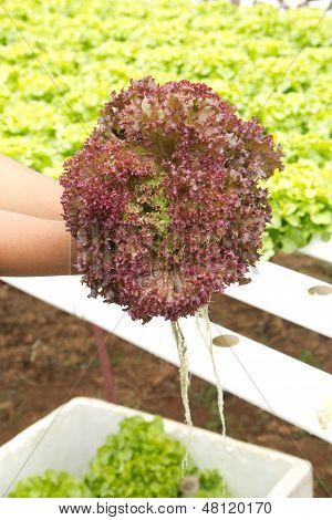 Organic Hydroponic