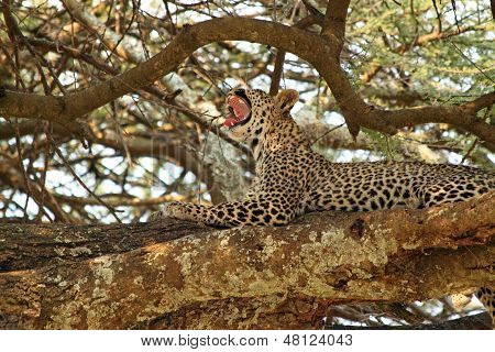 Leopard Yawning On A Tree