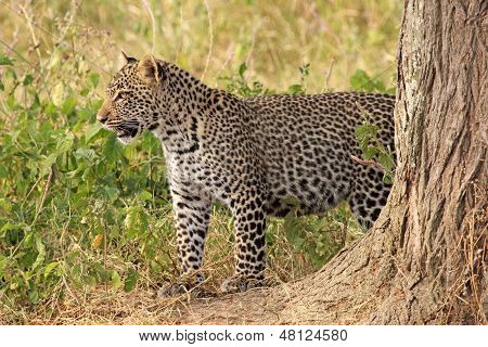 Leopard Standing In The Bush