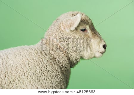 Side view of a lamb standing against green background